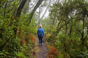 Woman hiking on hiking trail in the cloud forest, Nationalの写真素材 [FYI02342784]