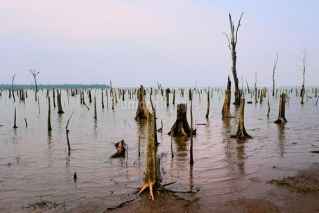 Dead, weathered trees in the Itaipu reservoir, biologicalの写真素材 [FYI02342790]