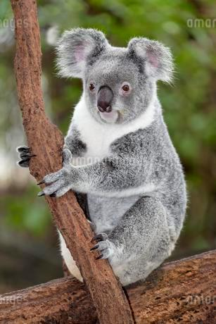 Koala (Phascolarctos cinereus) sitting on tree branch inの写真素材 [FYI02342806]