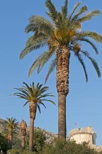 Date palms in front of Minceta Fort, Old Town, Dubrovnikの写真素材 [FYI02342809]