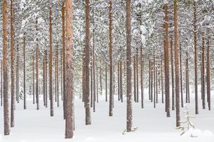 Snowy coniferous forest at the Arctic Circle, nearの写真素材 [FYI02342813]