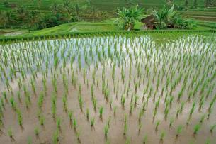 Rice terraces, Bali, Indonesia, Asiaの写真素材 [FYI02342820]