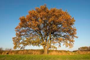 Solitary Pedunculate Oak (Quercus robur) in autumn, Lowerの写真素材 [FYI02342851]
