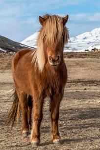 Icelandic horse (Equus przewalskii f. caballus), brownの写真素材 [FYI02342865]