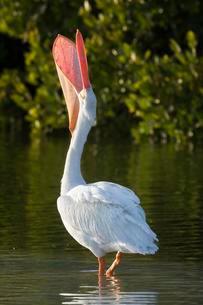 American white pelican (Pelecanus erythrorhynchos) withの写真素材 [FYI02342873]