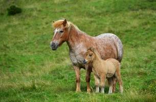 Shetland pony (Equus ferus caballus) with foal on alpineの写真素材 [FYI02342874]