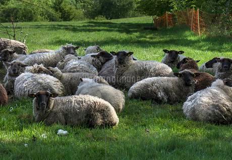 Black-headed Sheeps, herd rests on pastureの写真素材 [FYI02342885]
