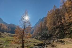 Autumnal Larches (Larix) with solar reflex, hike to Lagoの写真素材 [FYI02342890]