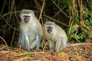 Vervet Monkey (Chlorocebus pygerythrus), female with youngの写真素材 [FYI02342904]