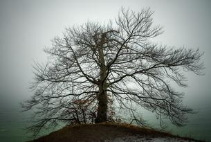 Bare tree in winter fog on the slope of the chalk cliffの写真素材 [FYI02342924]