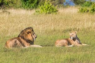 Lions (Panthera leo), pair of animals before mating, lyingの写真素材 [FYI02342926]