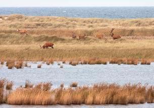 Red deer grazes in Bodden landscape, DarBer Ortの写真素材 [FYI02342957]