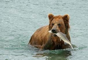 Brown bear (Ursus arctos) in water with salmon in mouthの写真素材 [FYI02342963]