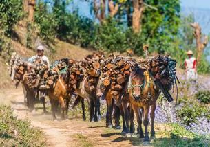 Horses carrying firewood, Palaung hilltribe, Palaungの写真素材 [FYI02342967]