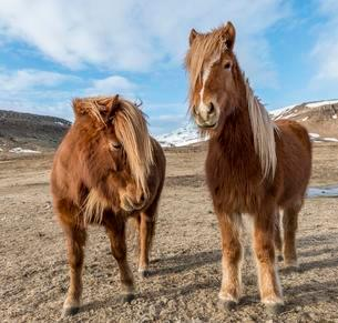 Icelandic horses (Equus przewalskii f. caballus), brownの写真素材 [FYI02342979]