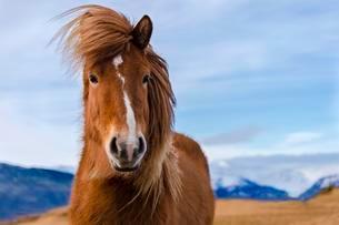 Icelandic horse, portrait, Vik, Iceland, Europeの写真素材 [FYI02342981]