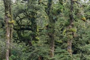 Mossy and grassy trees, Te Urewera National Park, Northの写真素材 [FYI02342983]