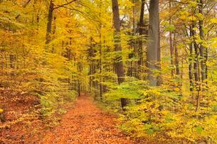 Forest track through autumnal deciduous forestの写真素材 [FYI02342987]