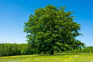 Common beech (Fagus sylvatica) stands in blossoming meadowの写真素材 [FYI02342989]