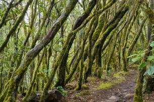 Hiking trail in the cloud forest, Garajonay National Parkの写真素材 [FYI02342990]