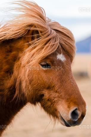 Icelandic horse, portrait, Vik, Iceland, Europeの写真素材 [FYI02343031]