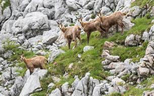 Chamoises (Rupicapra rupicapra), in rocky mountains, youngの写真素材 [FYI02343035]