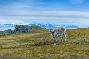 Svalbard Reindeer (Rangifer tarandus platyrhynchus) in theの写真素材 [FYI02343052]