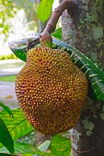 Durian fruit, Durian tree (Durio zibethinus), Baliの写真素材 [FYI02343068]
