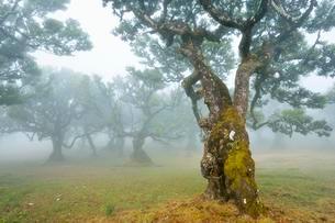 Old laurel forest or Laurissilva Forest, stinkwood (Ocoteaの写真素材 [FYI02343085]