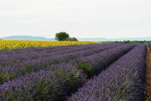 Lavender field and field of sunflowers, in Valensoleの写真素材 [FYI02343101]