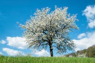 Fruit tree in blossom on a meadow, orchard, Bodenseekreisの写真素材 [FYI02343116]