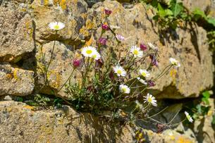 Mexican fleabane or Spanish daisy (Erigeron karvinskianus)の写真素材 [FYI02343117]