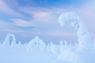 Snow-covered spruce trees, Riisitunturi National Parkの写真素材 [FYI02343118]