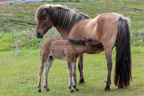 Icelandic horses (Equus islandicus), foal drinking withの写真素材 [FYI02343131]