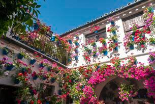 Many red geraniums in blue flowerpots in the courtyard on aの写真素材 [FYI02343133]