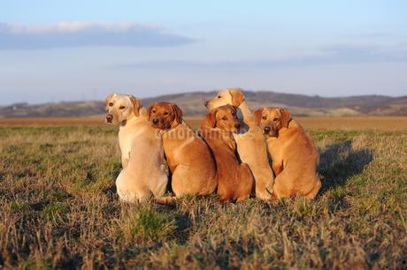 Labrador Retriever, yellow, bitches and males sitting nextの写真素材 [FYI02343135]