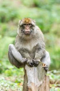 Barbary Macaque (Macaca sylvanus), adult sitting on a treeの写真素材 [FYI02343163]