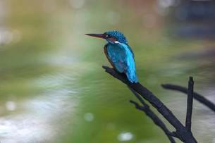 Common, river or Eurasian kingfisher (Alcedo atthis)の写真素材 [FYI02343177]