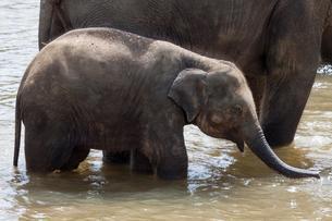 Asian elephant (Elephas maximus), juvenile in Maha Oyaの写真素材 [FYI02343178]