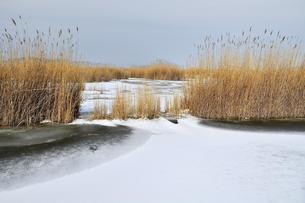 Reed belt at the frozen Lake Neusiedel, Illmitzの写真素材 [FYI02343181]