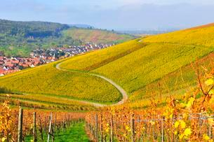 Curvy road through vineyards in autumn, nearの写真素材 [FYI02343185]
