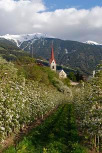 Apple orchard, behind the Plose, Eisacktal, Elvas, Brixenの写真素材 [FYI02343192]