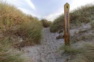 Trail to the beach, Marram Grass, European Marram Grassの写真素材 [FYI02343205]