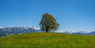 Friedenslinde, linden tree (Tilia) at the Wittelsbacherの写真素材 [FYI02343208]
