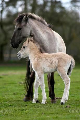 Dulmen pony, mother and foal, Dulmen, Northの写真素材 [FYI02343215]