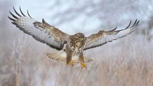 Common buzzard (Buteo buteo) flying, winter landscapeの写真素材 [FYI02343221]