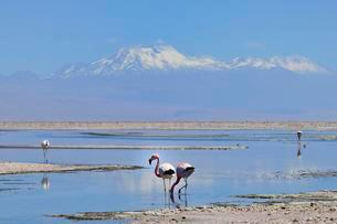 Andes Flamingos (Phoenicoparrus andinus) in shallow saltの写真素材 [FYI02343258]