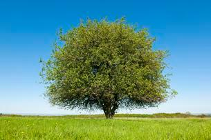 Solitary Pear tree (Pyrus communis) in a meadow, Thuringiaの写真素材 [FYI02343264]