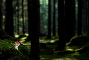 Fly Agaric (Amanita muscaria) growing on the forest floorの写真素材 [FYI02343277]