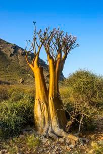 Bottle Tree (Adenium obesum) in bloom, endemic speciesの写真素材 [FYI02343307]